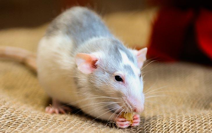 Где были крысы