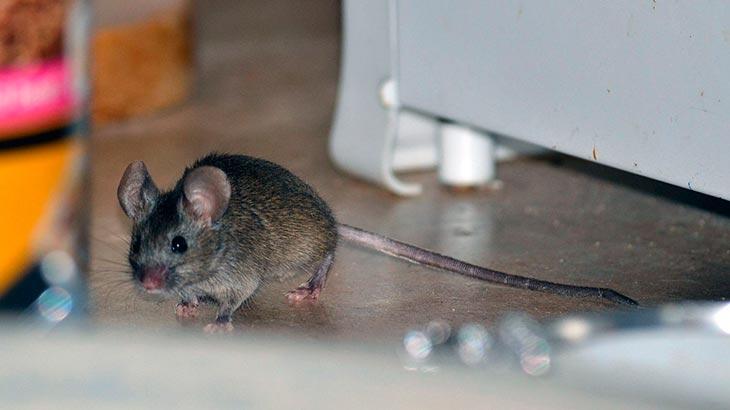Что вы делали с крысами и мышами