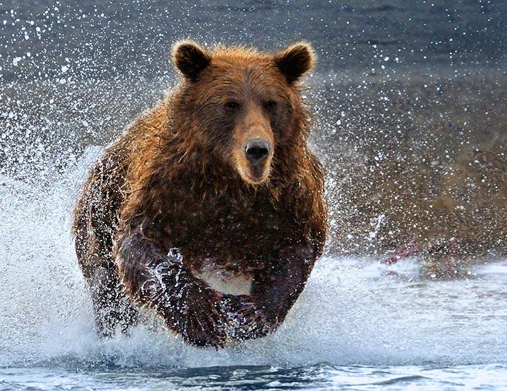 К чему снится, если медведь бежит за тобой, гонится, нападает