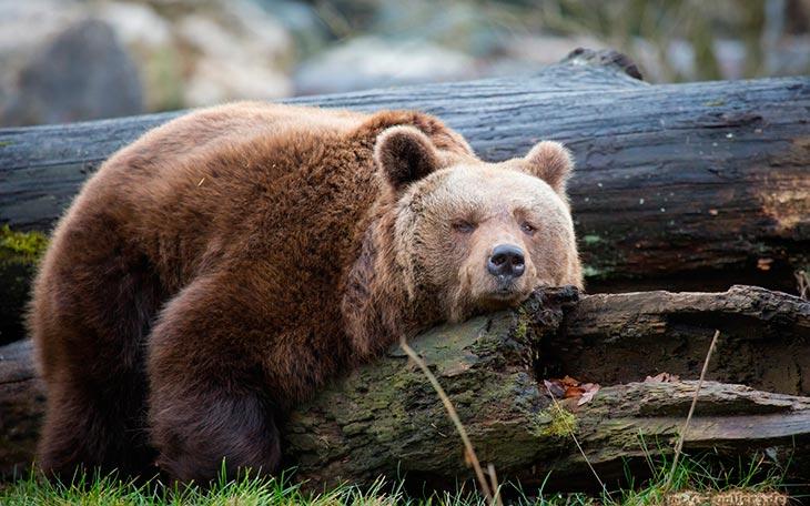 Приснился медведь в спячке,
