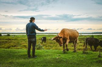 К чему снится корова по сонниках