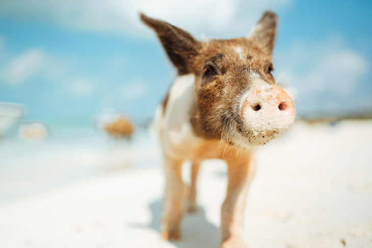Вы родились в год Свиньи?