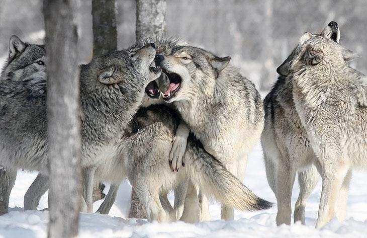 Стая волков во сне