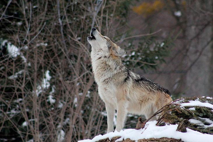 К чему снится белый, черный волк?