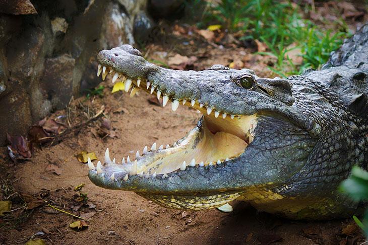 К чему снится нападение крокодила на кого-то
