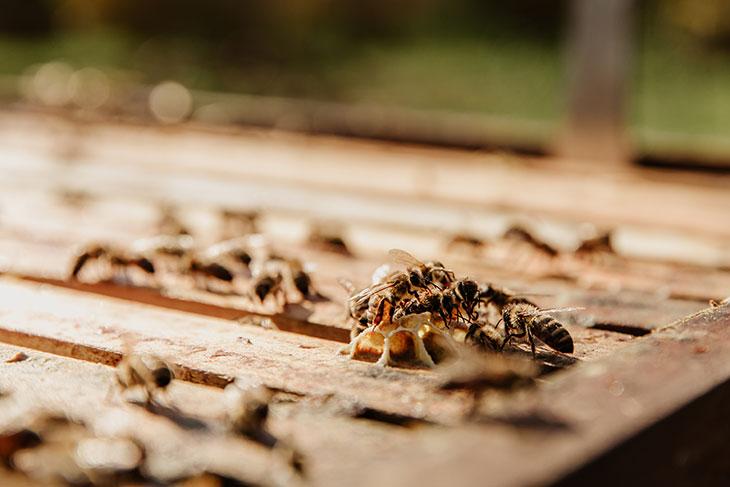 Пчелы в доме по Эзопу